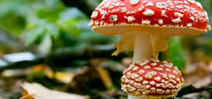 Aprenda a reconocer los hongos venenosos