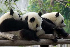 Trillizos panda nacen en un zoológico de China