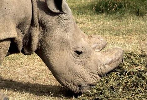 El rinoceronte Sudán